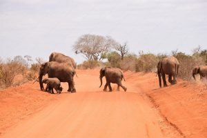 Safari in Tsavo East National Park